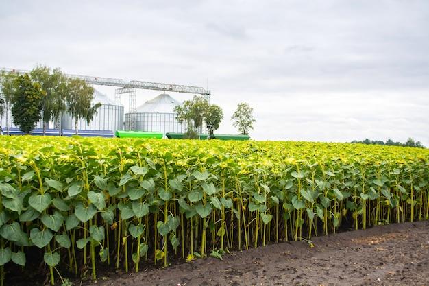 Righe di girasole sullo sfondo di un doppio elevatore del grano.