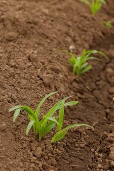 Righe di mais di colture in crescita