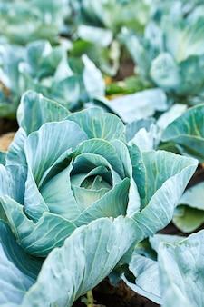 Righe di piante di cavolo fresche sul campo, raccolto autunnale, cavoli crescono in giardino, sfondo vegetale biologico, concetto di agricoltura.
