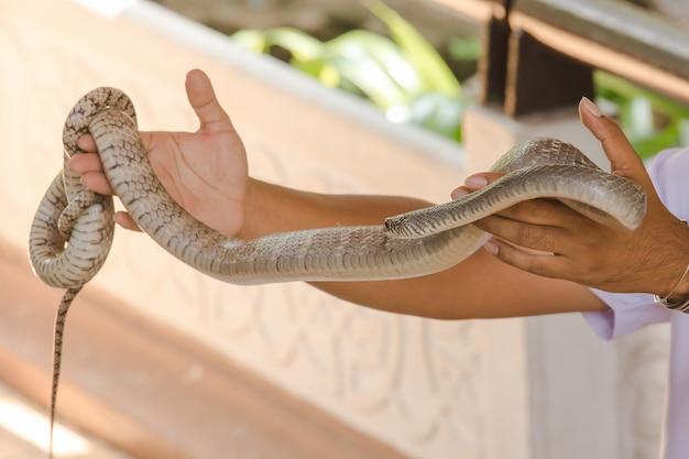 Rilassamento delle mani nelle mani degli uomini rilassarsi un serpente piccolo che non è velenoso, ma è feroce.