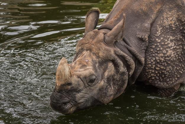 Rinoceronte asiatico in acqua