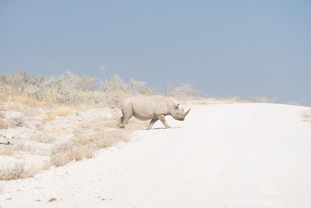 Rinoceronte bianco che attraversa la strada nel parco nazionale di etosha, destinazione di viaggio in namibia.