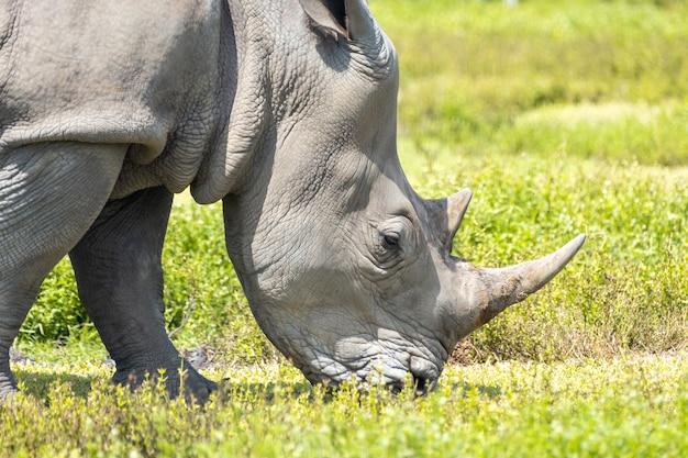Rinoceronte bianco, rinoceronte che cammina sull'erba verde