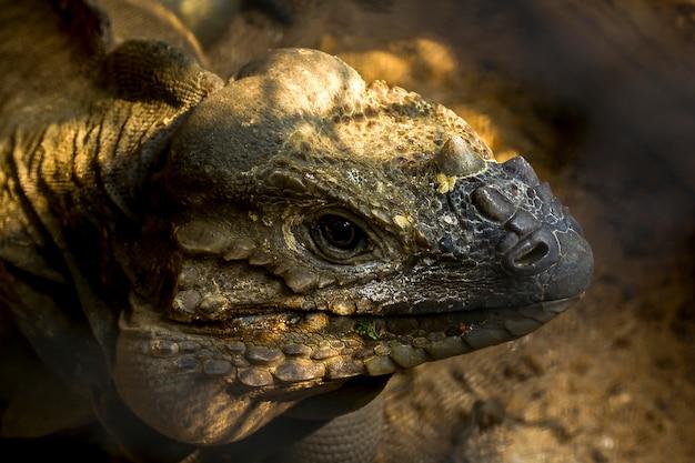 Rinoceronte iguana fauna selvatica.