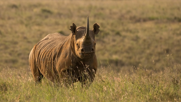 Rinoceronte nero africano