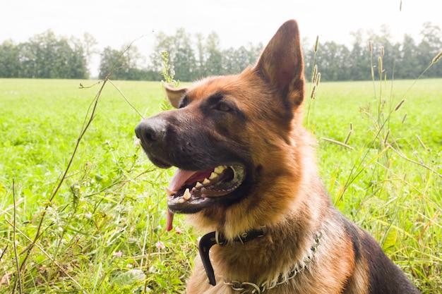 Riposo di camminata del pastore tedesco nel parco sull'erba un giorno di estate