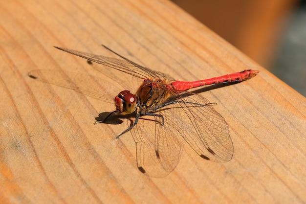 Riposo di seduta alto vicino della libellula