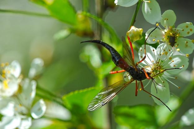 Riprese macro: insetto che beve il nettare dal fiore della ciliegia