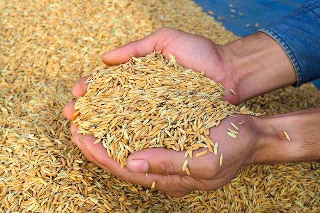 Risaia nella stagione del raccolto nelle mani del contadino