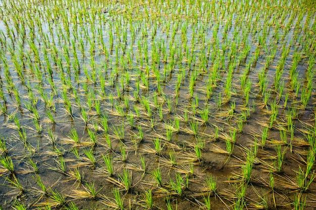 Risaia verde in india
