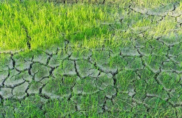 Risaie cresciute su terra screpolata senza acqua.