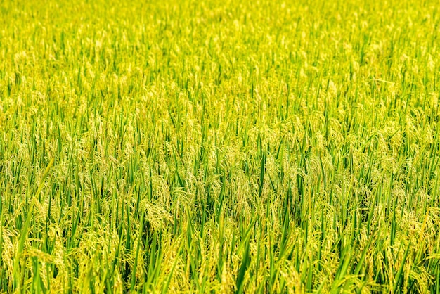 Risaie di riso tailandese al gelsomino