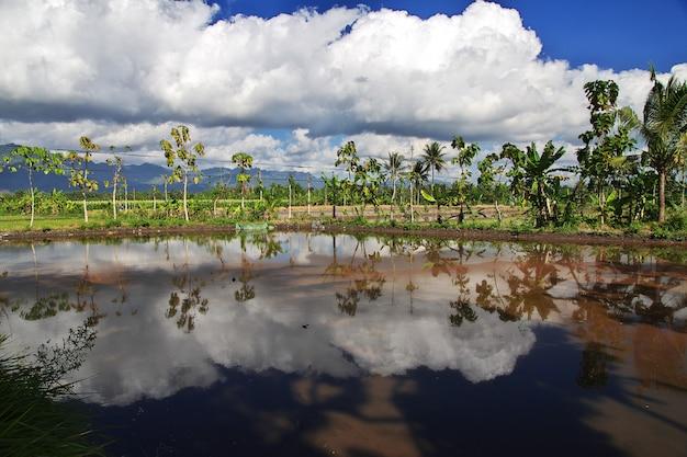 Risaie in villaggio dell'indonesia, java