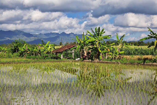 Risaie in villaggio dell'indonesia
