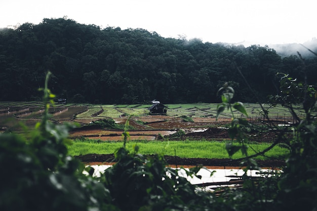 Risaie innaffia nelle risaie prima di piantare nella stagione delle piogge.