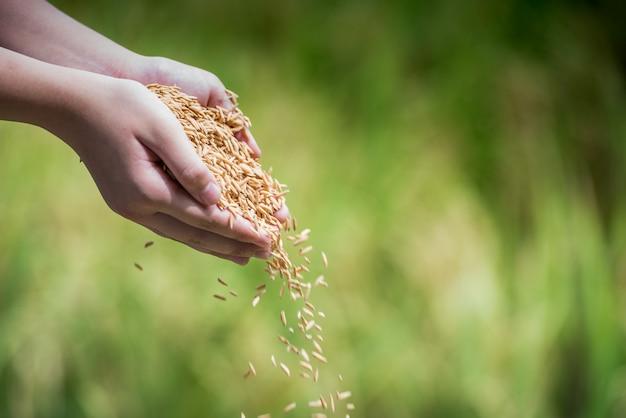 Riso al gelsomino dal campo sulle mani dei contadini