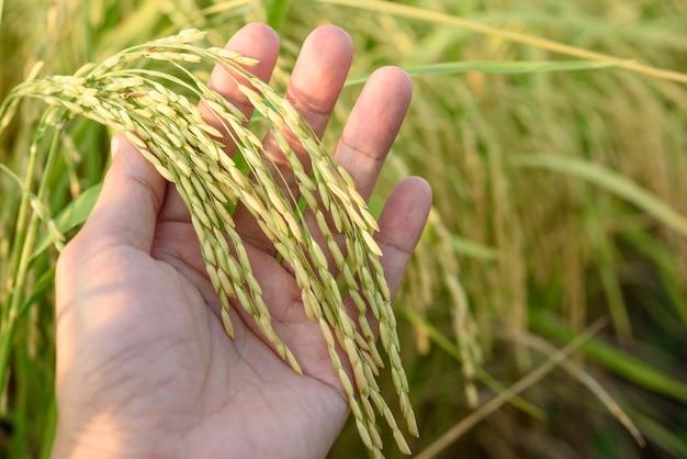 Riso del supporto della mano (riso tailandese del gelsomino), al giacimento del riso, a nord della tailandia.