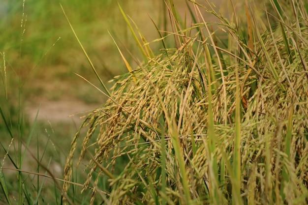 Riso giallo, risone pronto per essere raccolto, in campo di riso. concetto di agricoltura