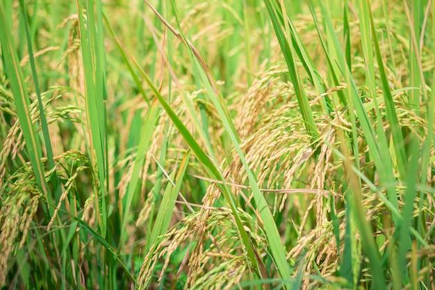 Riso verde in campo agricolo coltivato fase precoce di sviluppo di piante agricole