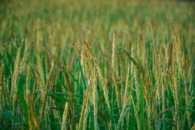 Riso verde in terreni agricoli. campo di riso biologico.