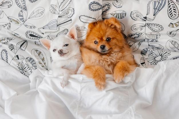 Ritratto adorabile dei cuccioli divertenti che si trovano sotto la coperta.