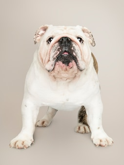 Ritratto adorabile del cucciolo del bulldog bianco