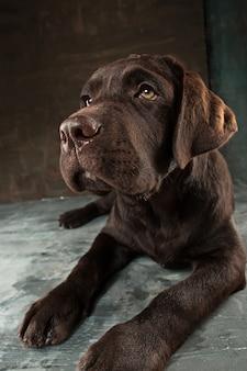 Ritratto adorabile di un cucciolo di labrador retriever del cioccolato