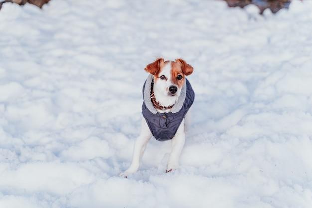 Ritratto all'aperto di un bellissimo cane jack russell giocando e correndo sulla neve. stagione invernale