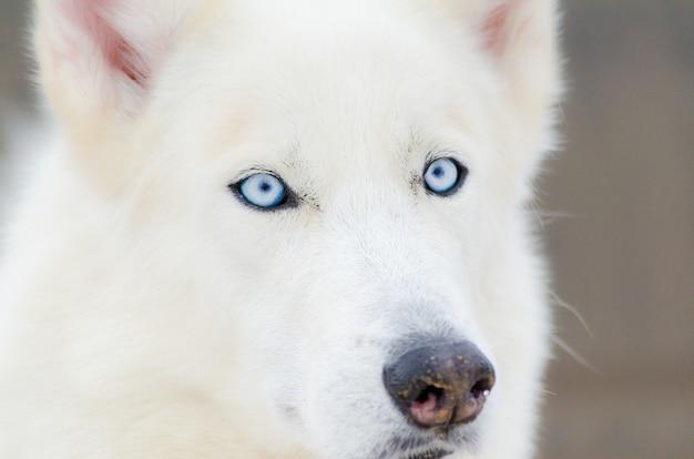 Ritratto alto vicino del cane del husky siberiano con gli occhi azzurri. cane husky h