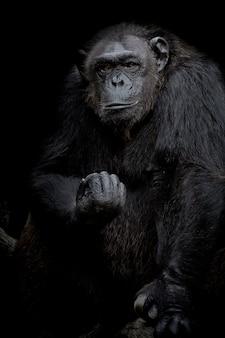 Ritratto alto vicino della gorilla isolato sul ritratto monocromatico nero