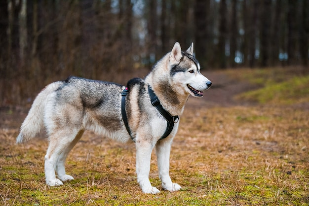 Ritratto alto vicino della museruola del cane del husky sulla natura