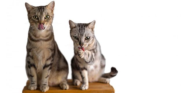 Ritratto dei gatti americani svegli dei capelli di scarsità delle coppie che leccano quando mangiano la caramella del gatto su bianco