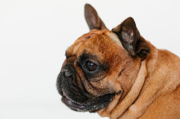 Ritratto del bulldog francese marrone sveglio a casa e. espressione divertente e giocosa. animali domestici al chiuso e stile di vita