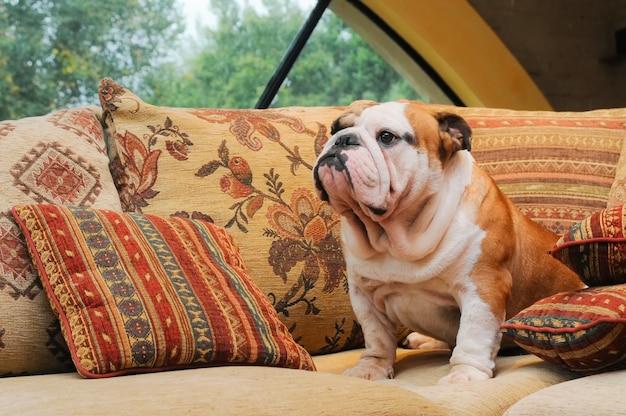 Ritratto del bulldog inglese