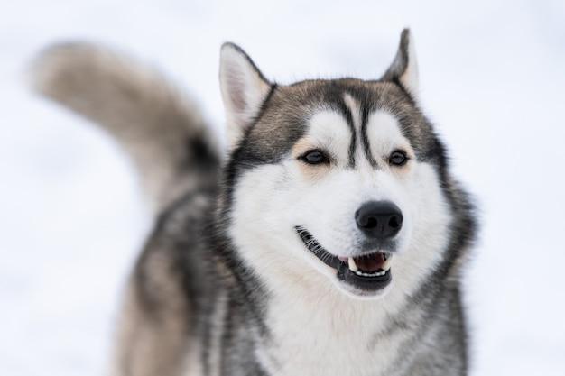 Ritratto del cane del husky, fondo nevoso di inverno.