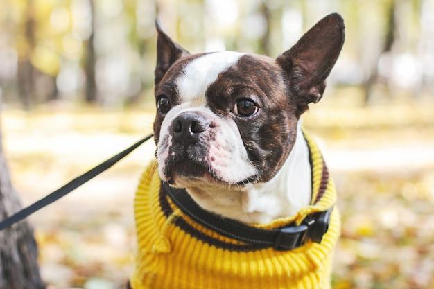 Ritratto del cane di boston terrier nel parco di autunno