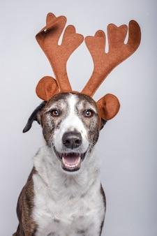 Ritratto del cane di podenco con i corni di renna su bianco