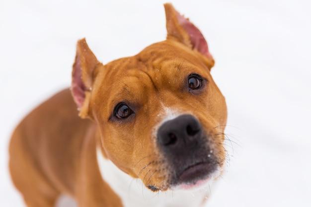 Ritratto del cane di razza marrone sulla neve. staffordshire terrier