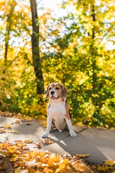 Ritratto del cane sveglio di beagle che si siede nel parco