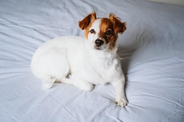 Ritratto del cane sveglio di jack russell a casa che riposa sul letto.