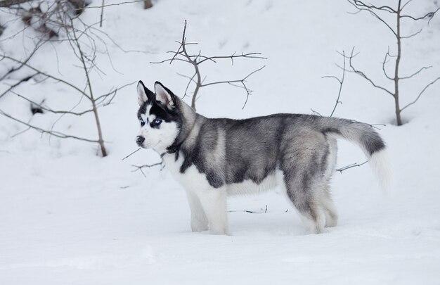 Ritratto del cucciolo del husky in inverno in neve.