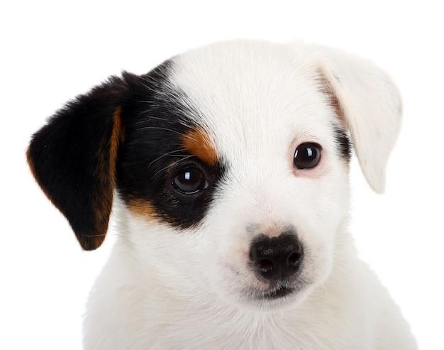 Ritratto del cucciolo di jack russell