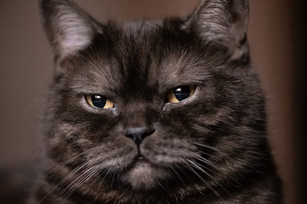 Ritratto del gatto con grandi occhi gialli
