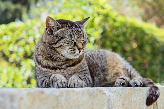 Ritratto del gatto di soriano marrone sveglio di sonno.