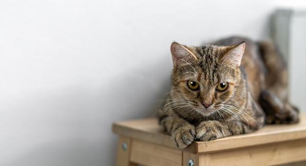 Ritratto del gatto sveglio dei capelli di scarsità che si siede sulla sedia di legno