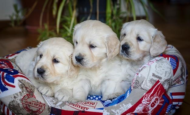 Ritratto del primo piano dei cuccioli adorabili di golden retriever di due mesi