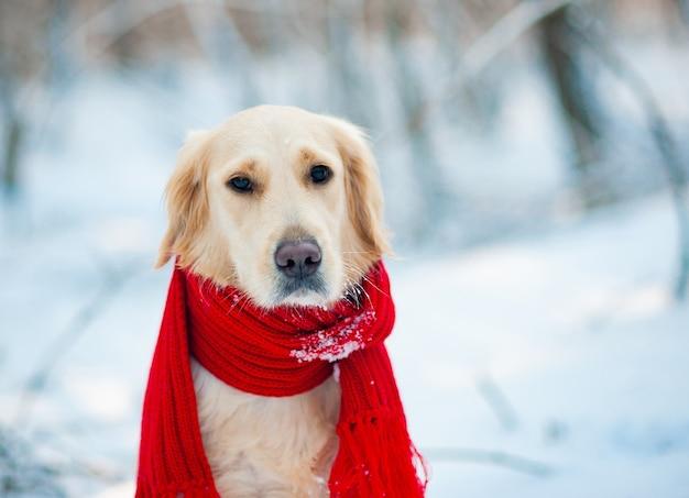 Ritratto del primo piano del cane da riporto bianco in una sciarpa rossa