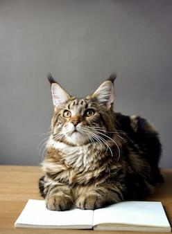 Ritratto del primo piano del gatto di maine coon che si siede su una tavola di legno e che legge un libro