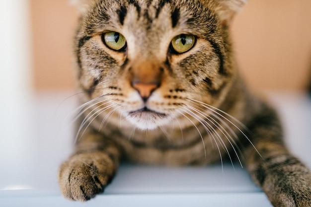 Ritratto del primo piano della museruola divertente del gatto che si trova sulla tavola.