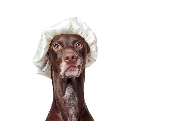 Ritratto del primo piano di un cane del puntatore che porta il cappello di doccia di plastica